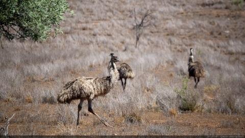 Emu Wilpena pound