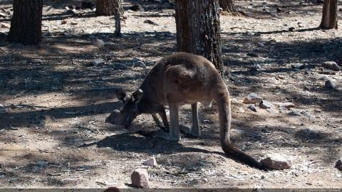 Kangourou Wilpena pound
