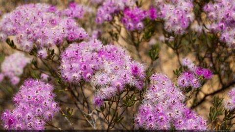 Kalbarri flowers